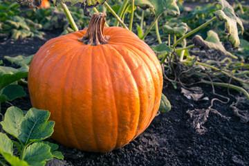 A single pumpkin at harvest time