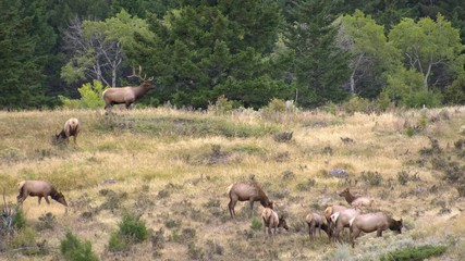 Wall Mural - Bull Elk with trophy antlers bugling in forest guarding cow elk