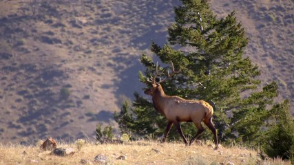 Wall Mural - Bull Elk with trophy antlers walking across hill top