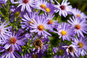 Closeup of aster dumosus with dewdrops in a natural autumn garden. Shallow depth of field.