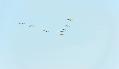 Geese flying in a blue cloudy sky in autumn