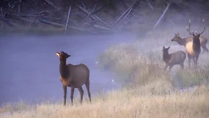 Wall Mural - Elk walking along river at dawn on cold foggy morning as young calf nurses in Yellowstone.