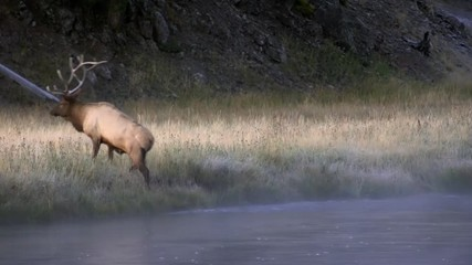 Wall Mural - Bull Elk climbing out of river at dawn on cold foggy day.