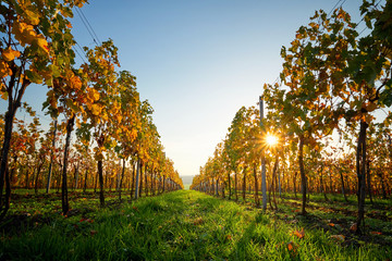 Colorful vineyard on a sunny day. Yellow colored leaves vine in autumn.