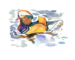 Mandarin duck  (Aix galericulata) male swiming, isolated hand painted watercolor illustration