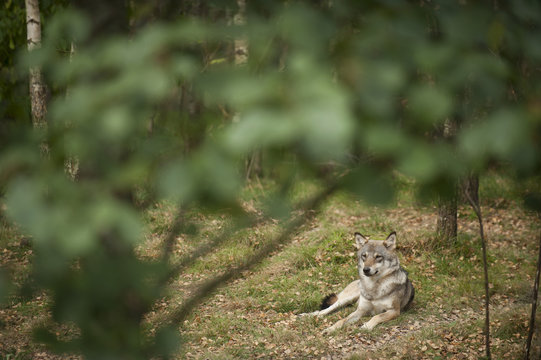 Wolf resting on field in forest