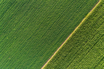 Garden Poster Culture Top view of green diagonal rows of crops in field
