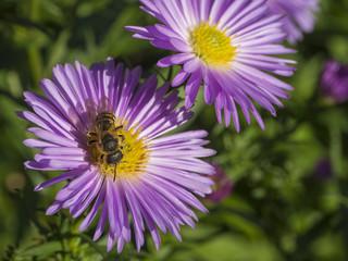 macro close up honey bee on beautiful pink daisy flower