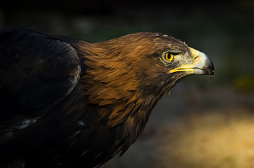 Poster Eagle The portrait of golden eagle (Aquila chrysaetos) at sunset