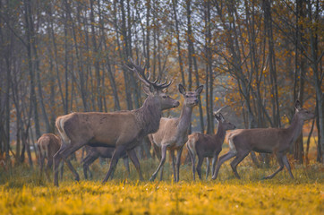 Group of red deers in autumnal meadow .Red deers in nature during autumn