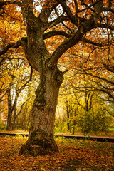 Oak tree in an autumn park. Autumn landscape with an old picturesque oak tree. The golden autumn in the park. Sunny autumn background with old yellow oak tree.