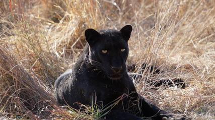 Foto auf Leinwand Panther Black Leopard