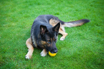 Shepherd dog with a ball in her teeth on the grass