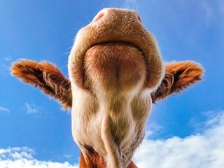 Cow from below