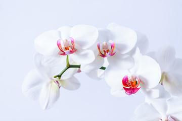 Fototapeta Piekne białe storczyki