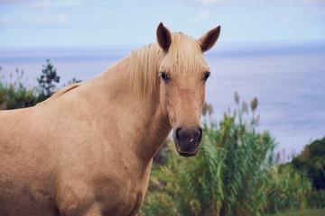 hellbraunes Pferde Portrait auf den Azoren Sao Miguel