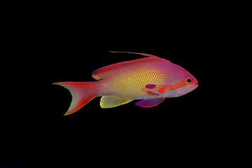 Isolated anthias fish on black background