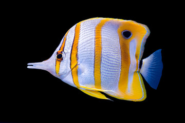 Isolated copperband butterflyfish