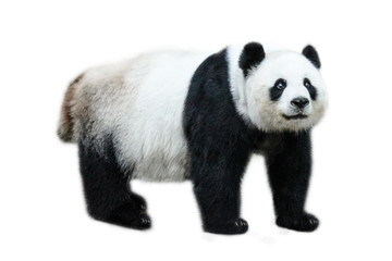 Poster Panda The Giant Panda, Ailuropoda melanoleuca, also known as panda bear, is a bear native to south central China. Panda standing, side view, isolated on white background.