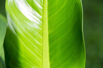 Dieffenbachia  leaf, Green leaf  pattern