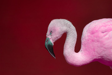 Pink flamingo against red background. Vivid contemporary wildlife image.