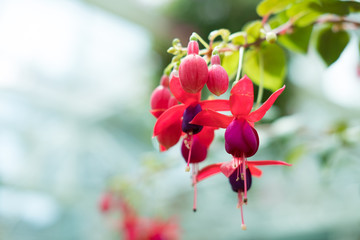 pink purple fuchsia magellanica. hummingbird flower in park. hanging Lady's Eardrops in garden