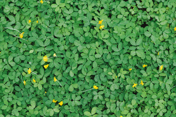 Green Leaves background,small yellow flower,green leaf of Arachis pintoi ,Pinto peanut