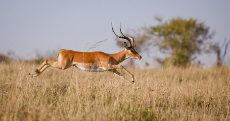 Foto op Plexiglas Antilope A male impala leaps outstretched in mid air over grassland in Kenya's Masai mara