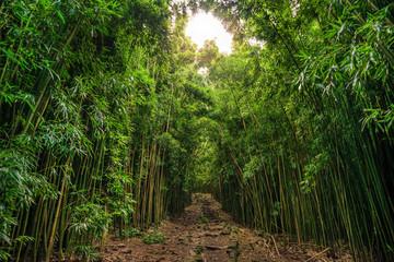 Bamboo on Pipiwai trail (Waimoku Falls)  in Haleakala National Park on Maui Hawaii USA