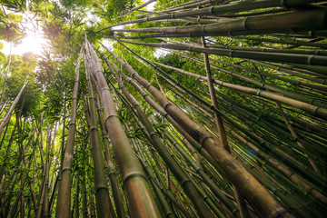 Bamboo on Pipiwai trail (Waimoku Falls)  in Haleakala National Park on Maui Hawaii USA