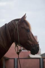 Cavalo perfil