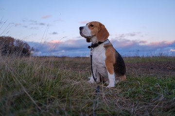 Beagle dog in the bright rays of the autumn sunset