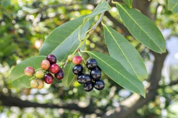 Prunus laurocerasus cherry laurel shrub, ripening fruits on branches
