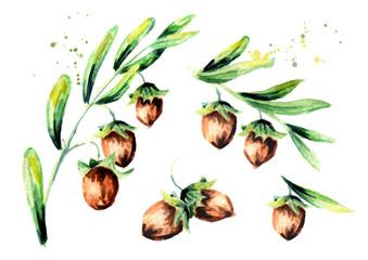 Branch jojoba and brown nuts set. Watercolor hand drawn illustration