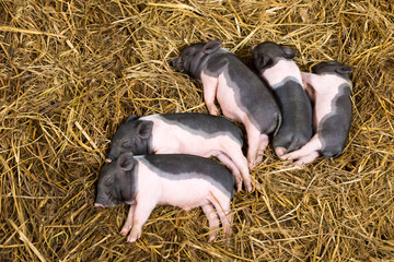 Piglets newborn lying on each other and sleeping in the straw in the barn