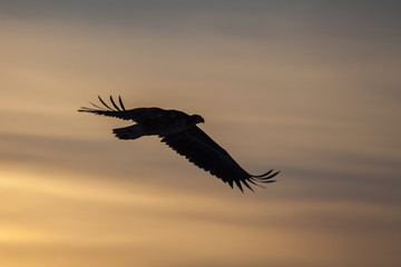 Silhouette of the white-tailed eagle against the sunset