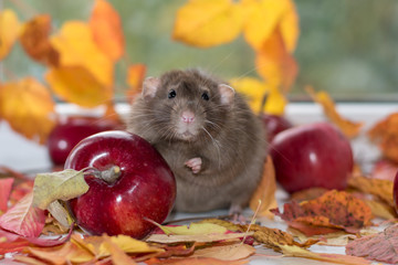 gray rat with red apple and autumn leaves