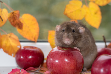 adult gray rat with apple