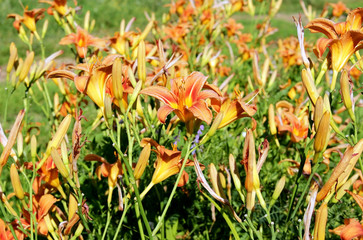 bright daylilies in the sun in the garden