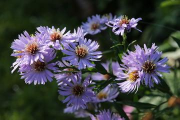 Tautropfen auf lila Herbst-Aster (Aster spez.)