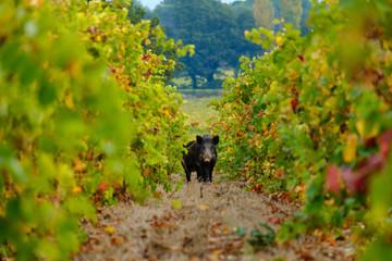 Le sanglier en face dans les vignes en automne.