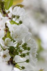 Papiers peints Fleur de cerisier fleur de cerisier et halo