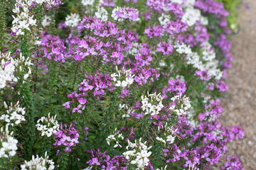 Purple and white flowers along a gravel road