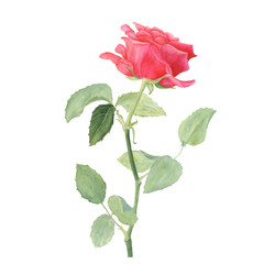 Botanical watercolor illustration of red rose isolated on white background