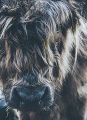 Closeup of a Highland cattle.