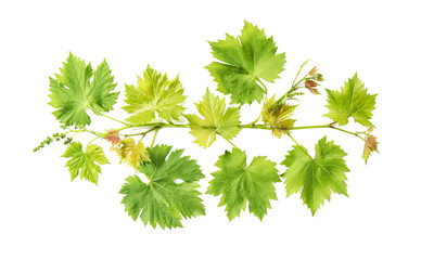 Grape vine leaves isolated white background