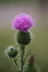 Purple Thistle Plant Covered In Dew