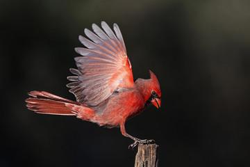 Flying Northern Cardinal