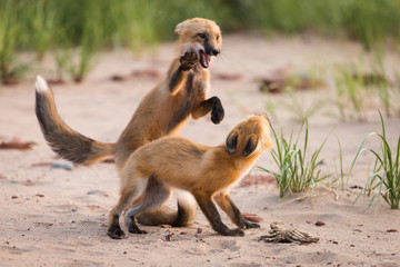 Pair of young wild fox partners fighting in natural animal environment