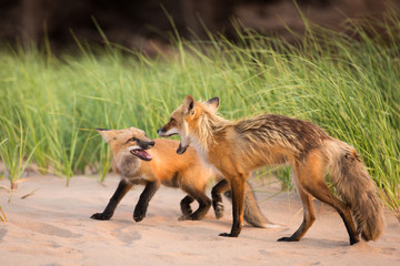 Pair of wild foxes showing territorial aggression and dominance in natural animal environment